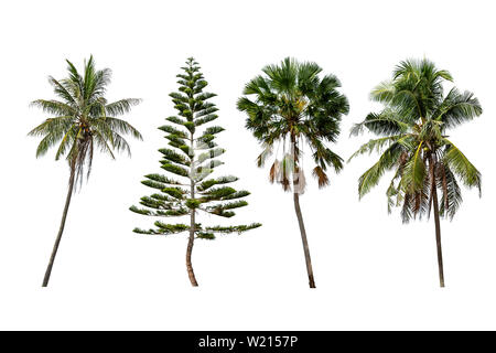 Isolated coconut trees , Pinus and Palm trees on a white background with clipping path. - Stock Photo