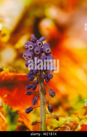 Wild flower grape hyacinth macro background fine art in high quality prints fifty megapixels muscari neglectum family asparagaceae - Stock Photo