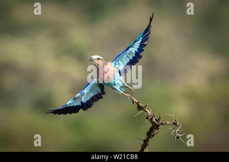 A lilac-breasted roller with a catchlight in its eye takes off from a thorny branch, looking towards the camera. It has turquoise and blue wings, a li - Stock Photo