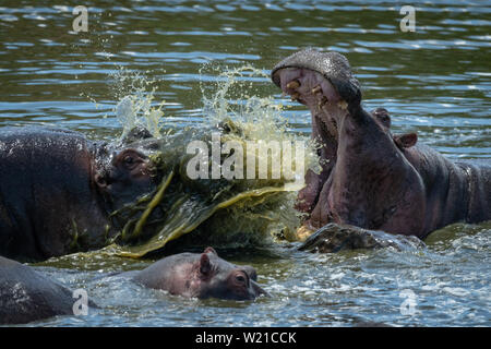 Two male hippos fight each other in a river beside a young calf. One opens its mouth wide, splashing the other with green water. - Stock Photo