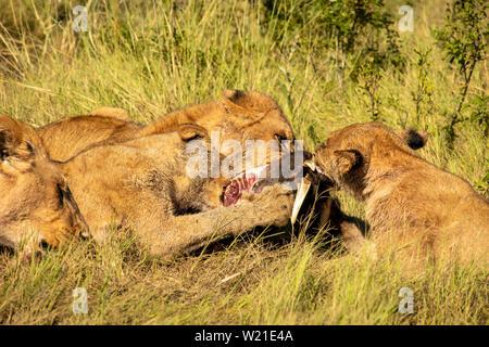 Lion pride eating warthog in botswana