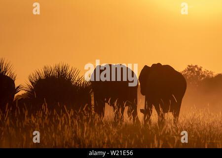 African Elephants walking in sunset in Chitabe, OkavangoDelta, Botswana - Stock Photo