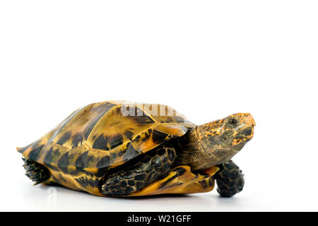 Inland turtles in Asia are called 'Impressed tortoise, Manouria impressa ' isolated on white background.. - Stock Photo