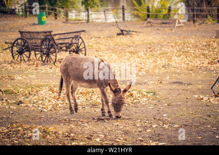 The brown donkey (domesticated member of the horse family) is eating - Stock Photo