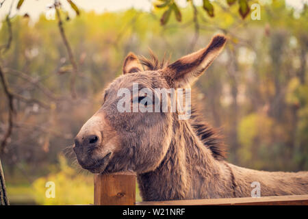 funny brown donkey domesticated member of the horse family - Stock Photo