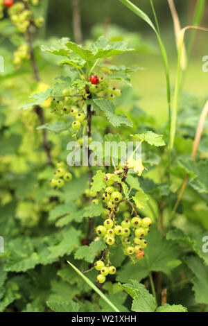 Photos of a young currant bush growing in the garden, farm. Growing currants. Green unripe currant berries on the bush. Berry bushes on the farm - Stock Photo