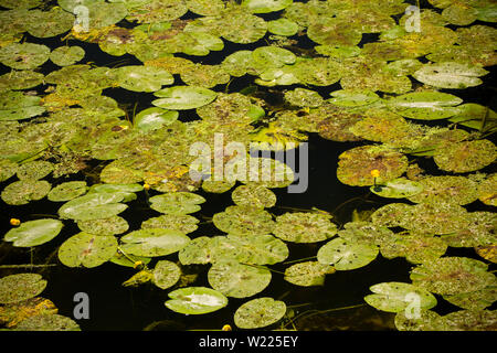 Lily pads growing in the Dorset Stour River viewed from Sturminster Newton Town Bridge in July. Dorset England UK GB - Stock Photo