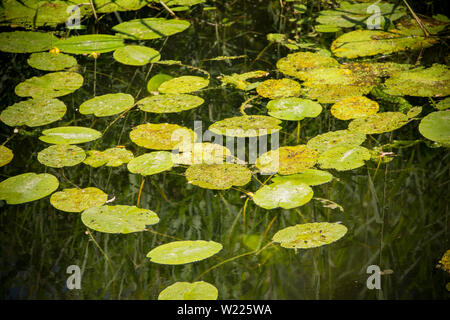 Lily pads growing in the Dorset Stour River viewed from Sturminster Newton Town Bridge in July with reflections of bankside vegetation in the water. D - Stock Photo