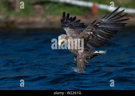 Seeadler, Adler, Vogel, Bird, Haliaeetus albicilla, Greifvogel, White-tailed eagle, fishing, fängt Fisch, - Stock Photo