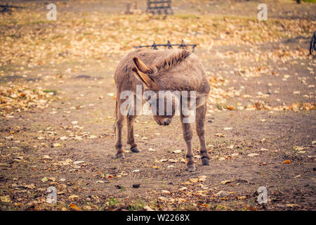The brown donkey domesticated member of the horse family - Stock Photo