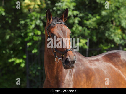 Dressage sportive horse portrait in outdoor - Stock Photo