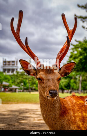 Deer roaming in the streets of Nara, Japan - Stock Photo