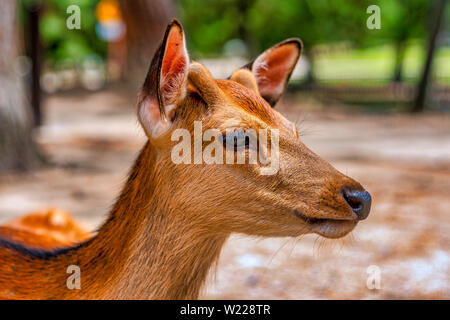 Deer roaming in the streets of Nara, Japan - Stock Photo