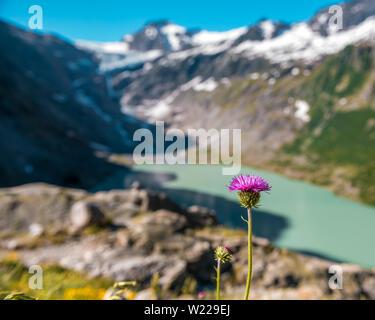 Violette Distelblüte am Triftsee mit Triftgletscher in den Schweizer Alpen bei Gadmen - Stock Photo