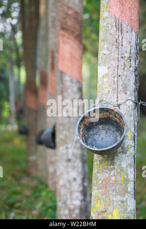 rubber tree - Stock Photo