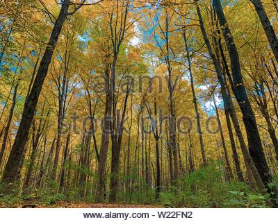 A frest of tall slender trees with light green leaves. - Stock Photo