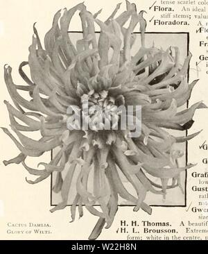 Archive image from page 17 of Dahlias (1914) - Stock Photo