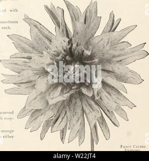 Archive image from page 21 of Dahlias (1914) - Stock Photo