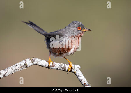 Dartford warbler, (Sylvia undata), perched on a branch of a tree. Spain - Stock Photo