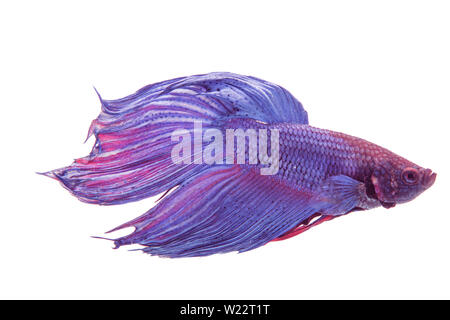 fighting fish isolated on white background. - Stock Photo