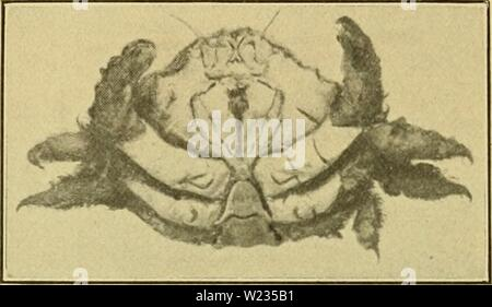 Archive image from page 135 of Decapod Crustacea of Bermuda Their - Stock Photo