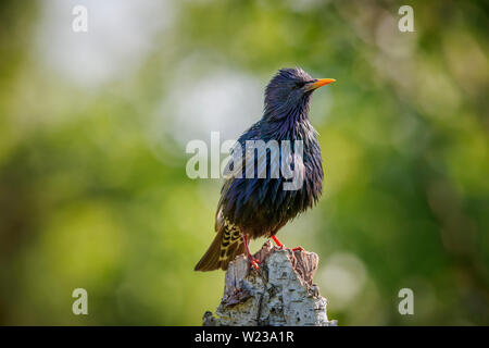 European starling (Sturnus vulgaris) perching on a stump with wet feathers, Koros-Maros National Park, Bekes County, Hungary - Stock Photo