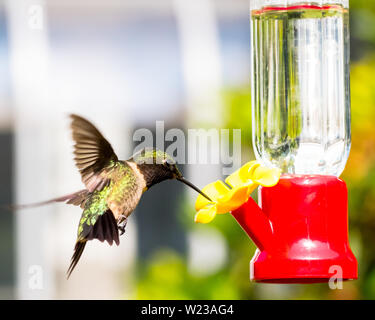 Ruby-Throated Hummingbird flying in and approaching a hummingbird feeder. - Stock Photo