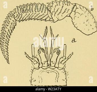 Archive image from page 149 of Decapod Crustacea of Bermuda Their - Stock Photo