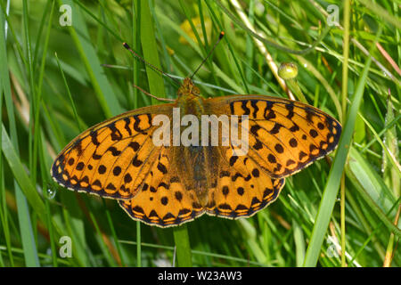 Male Dark Green Fritillary, Argynnis aglaja, Cumbria, England - Stock Photo