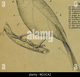 Archive image from page 152 of Die Kanarienvögel, Sprosser, Nachtigallen, Rothgimpel, - Stock Photo
