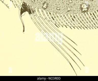 Archive image from page 178 of The deep-sea fishes [of the - Stock Photo