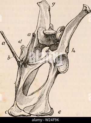 Archive image from page 236 of The cyclopædia of anatomy and - Stock Photo