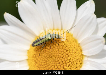 Thick-legged flower beetle (Oedemera nobilis),  also known as the swollen-thighed beetle and the false oil beetle, on Anthemis tinctoria 'E.C.Buxton' - Stock Photo