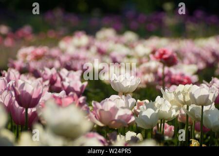 Blumenbeet mit weißen uns rosa Tulpen - Stock Photo