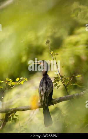 Female anhinga,  known as Anhinga anhinga bird, perches in a tree in a swamp in Naples, Florida. - Stock Photo