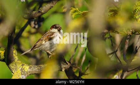 Spanish Sparrow Percehd on a Tree Cadiz Spain - Stock Photo