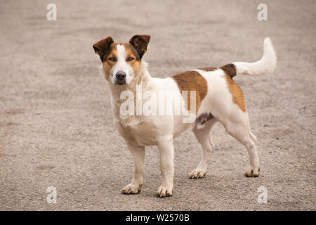 Brown and white dog is looking to camera. On a close distance. - Stock Photo