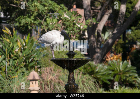 Australian White Ibis May 28th, 2019 Royal Botanic Garden, Sydney, Australia - Stock Photo