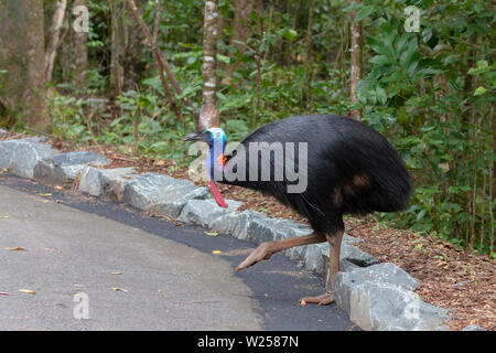 Southern Cassowary - Taken in and around Daintree National Park in Australia - Stock Photo