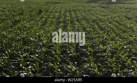 Aerial bird view footage over maize field with still young and small corn plants showing the wide agricultural field with the just planted crops in - Stock Photo