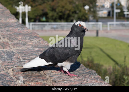 Domestic pigeon, dove with white and black color on the stone park fence. Columba livia - Stock Photo