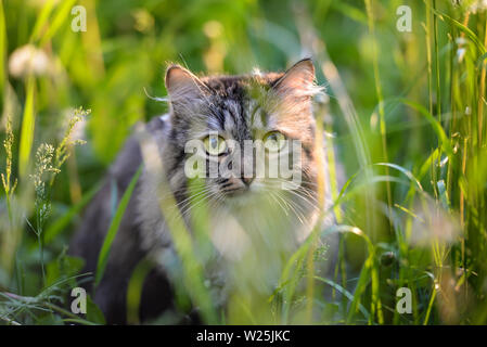 Tabby cat hiding in the grass  in the summer evening - Stock Photo