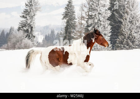 Brown and white horse, Slovak Warmblood breed, running on snow, blurred trees and mountains in background - Stock Photo