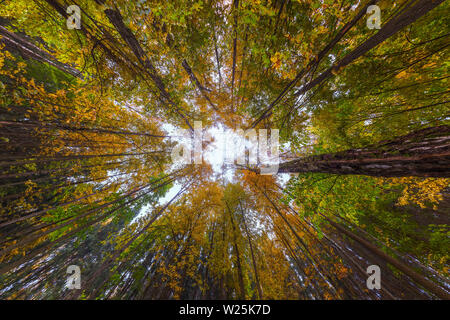 Ultra wide angle upward shot in autumn daylight forest, Cloudy weather. Centripetal composition. - Stock Photo
