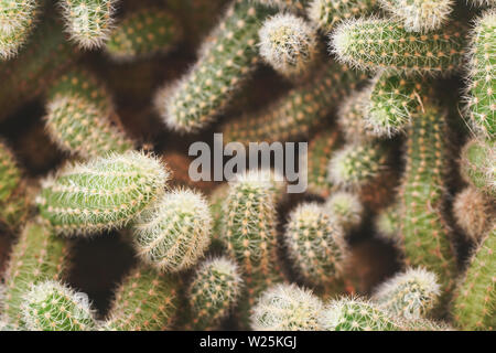 Top down view, many cactus plants tangled together, shallow depth of field photo, only few spikes in focus, abstract cacti background. - Stock Photo