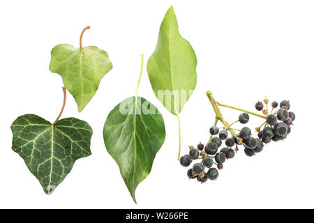 healing / medicinal plants: healing plant studies: Ivy (Hedera helix) Old and young leaves / front-rear / berries isolated on white background - Stock Photo