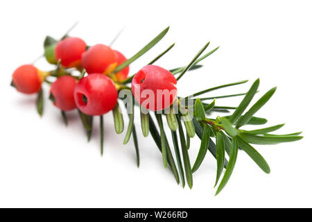 healing / medicinal plants: healing plants: Branch of a yew (Taxus baccata) with berries - Stock Photo