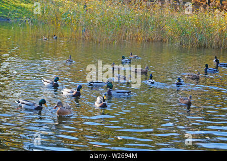A flock of ducks swims in a lake in a park on a sunny spring day - Stock Photo