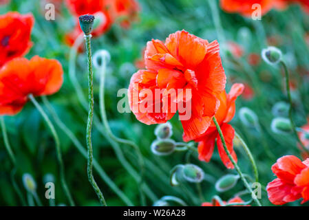 Red poppies on a field on a summer sunny day.In poppies field.Summer and spring, landscape, poppy seed. Opium poppy, botanical plant, ecology. Drug an - Stock Photo