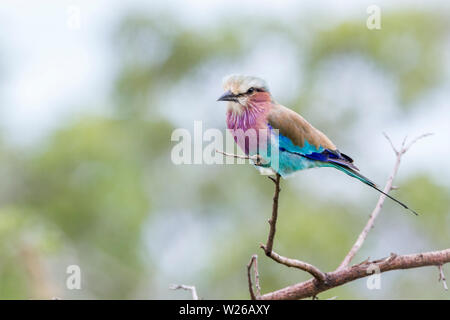 Lilac breasted roller in blur background in Kruger National park, South Africa ; Specie Coracias caudatus family of Coraciidae - Stock Photo
